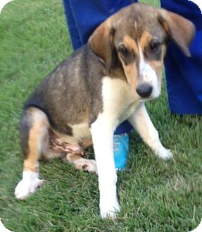 Beagle/Shepherd (Unknown Type) Mix Dog for adoption in Memphis, Tennessee - Jester