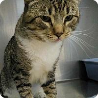 Domestic Shorthair Cat for adoption in Sauk Rapids, Minnesota - Pop