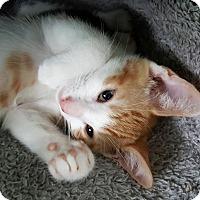Domestic Shorthair Kitten for adoption in Philadelphia, Pennsylvania - Lionel (foster care)