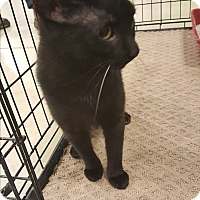 Domestic Shorthair Cat for adoption in Ortonville, Michigan - Tinker bell