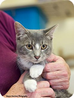 Domestic Shorthair Cat for adoption in Knoxville, Tennessee - Champ