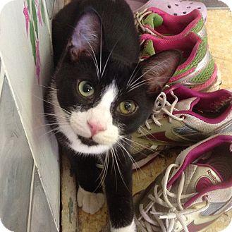 Domestic Shorthair Kitten for adoption in Toronto, Ontario - Mr. T