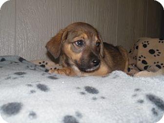 Labrador Retriever/Pit Bull Terrier Mix Puppy for adoption in Clarksville, Arkansas - Misty