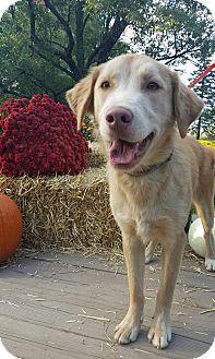 Husky/Golden Retriever Mix Dog for adoption in Oakland, Michigan - Comet