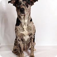 Adopt A Pet :: Lila AussieHoula - St. Louis, MO