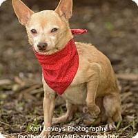 Adopt A Pet :: Mister Squeaks-ADOPT Me! - Redondo Beach, CA