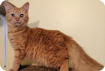 Domestic Longhair Cat for adoption in Norristown, Pennsylvania - Paula