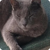 Russian Blue Cat for adoption in Thibodaux, Louisiana - Coal FE1-9209