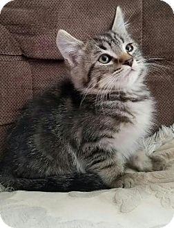 Domestic Mediumhair Kitten for adoption in Monrovia, California - Bart
