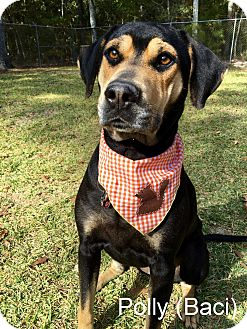 Catahoula Leopard Dog Mix Dog for adoption in Slidell, Louisiana - Polly (Baci)