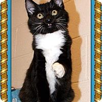 Adopt A Pet :: Gavin - Atco, NJ
