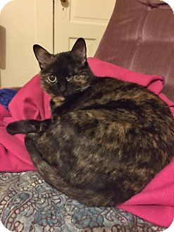 Domestic Shorthair Cat for adoption in Whitewater, Wisconsin - Faith