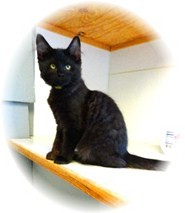 Domestic Mediumhair Kitten for adoption in Shelton, Washington - Kyle