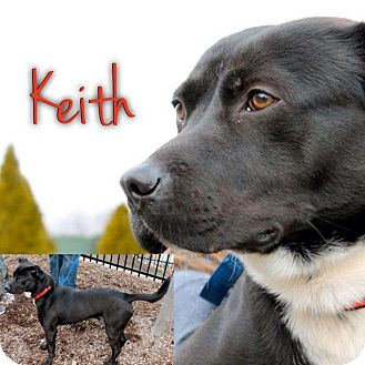American Pit Bull Terrier/Labrador Retriever Mix Dog for adoption in Garden City, Michigan - Keith