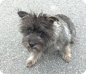Cairn Terrier/Schnauzer (Miniature) Mix Dog for adoption in Mocksville, North Carolina - Roxy