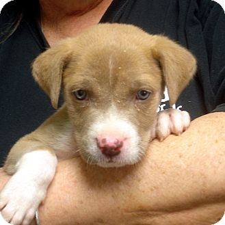 American Staffordshire Terrier Puppy for adoption in baltimore, Maryland - Poopsey