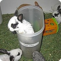 Netherland Dwarf Mix for adoption in Los Angeles, California - Speck