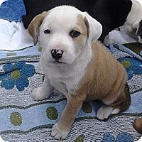 Adopt A Pet :: 'CHUNKY MONKEY' - Brooksville, FL