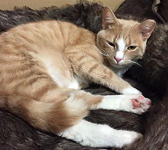 Domestic Shorthair Cat for adoption in Burlington, North Carolina - JAKE