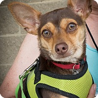 Adopt A Pet :: Cinnamon - Loudonville, NY