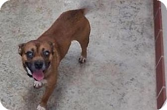 Jack Russell Terrier Mix Dog for adoption in Tahlequah, Oklahoma - Jack