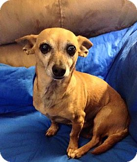 Chihuahua Dog for adoption in Thomasville, North Carolina - Toni