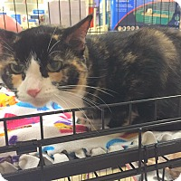 Domestic Shorthair Cat for adoption in Rochester, Minnesota - Mia