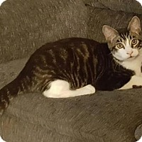 Domestic Shorthair Cat for adoption in Vacaville, California - Rocket