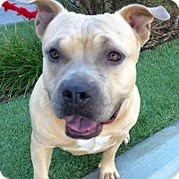 Adopt A Pet :: Bellina - San Pedro, CA