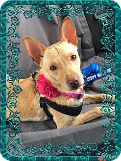 Basenji/Cattle Dog Mix Dog for adoption in San Antonio, Texas - A374646  Izzy