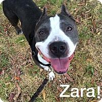 American Pit Bull Terrier Dog for adoption in Richmond, California - Zara