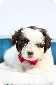 Shih Tzu Puppy for adoption in Auburn, California - Macy