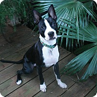 Boston Terrier/Great Dane Mix Puppy for adoption in Houston, Texas - Sophie