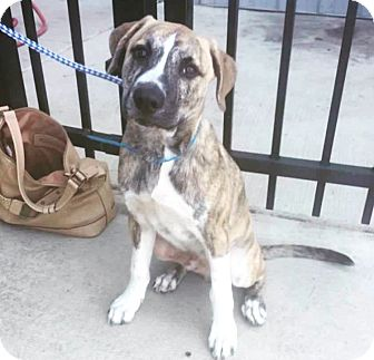 Boxer/Labrador Retriever Mix Puppy for adoption in Brattleboro, Vermont - Dak