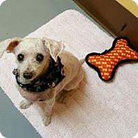 Adopt A Pet :: Ginny - Perth Amboy, NJ
