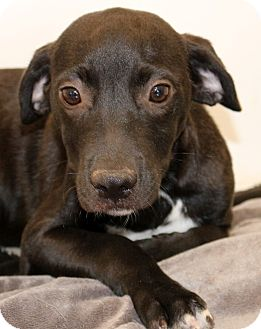 Labrador Retriever/Beagle Mix Puppy for adoption in Glastonbury, Connecticut - Onyx~ meet me!