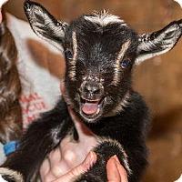 Adopt A Pet :: LILA - Dedham, MA