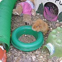 Adopt A Pet :: Guinea Pigs - Christmas, FL
