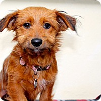 Adopt A Pet :: Avery - Los Angeles, CA