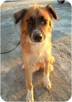 Sadie | Adopted Dog | Anchorage, AK | German Shepherd Dog ...