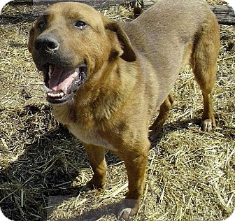 Golden Retriever/Labrador Retriever Mix Dog for adoption in Moulton, Alabama - Tipper