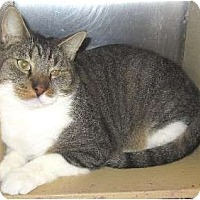 Domestic Shorthair Cat for adoption in Schertz, Texas - Carlton