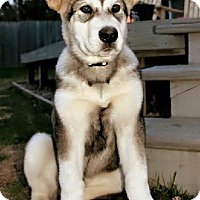 Adopt A Pet :: BLUE - Birmingham, MI