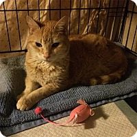 Domestic Shorthair Cat for adoption in Brooklyn, New York - Puddin'
