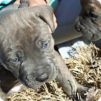 Adopt A Pet :: Blue - Alpharetta, GA