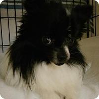 Adopt A Pet :: Chloe - Harrisburg, PA