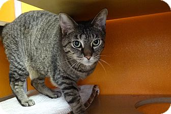Domestic Shorthair Cat for adoption in Elyria, Ohio - Italy