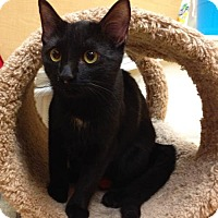 Adopt A Pet :: Shae (Bonded to Daenerys) - Richmond Hill, ON