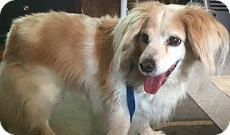 Spaniel (Unknown Type) Mix Dog for adoption in Springfield, Missouri - Travis