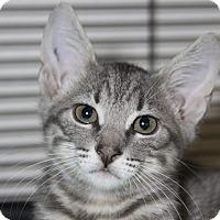 Adopt A Pet :: Wolowitz - Sarasota, FL